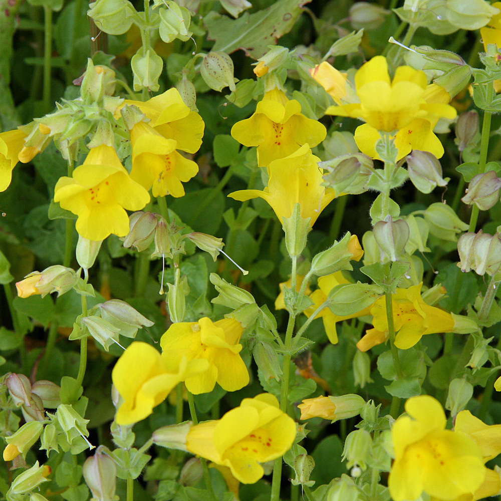 gauklerblume mimulus luteus die goldgelben bl ten der gauklerblume erscheinen im juni und. Black Bedroom Furniture Sets. Home Design Ideas