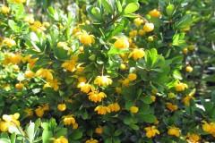 Berberitzen im Garten oder als Kübelpflanze