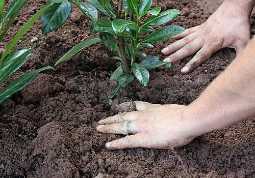 Kirschlorbeerhecke pflanzen