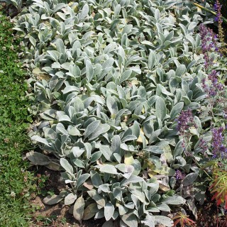 Wollziest, Stachys, Blattschmuck, Beetpflanzen