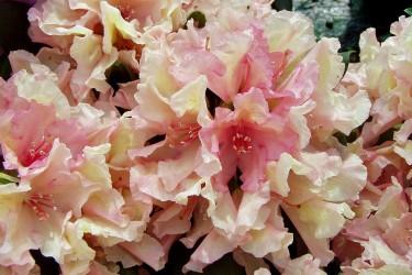 Rhododendren & Azaleen