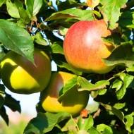 Herbstapfel 'Goldparmäne'