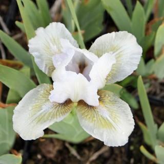 Zwerg Schwertlilie Sea Change, Lilie, Iris, Frühling