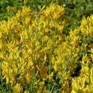 Färberginster Royal Gold, Genista, Blütengehölz