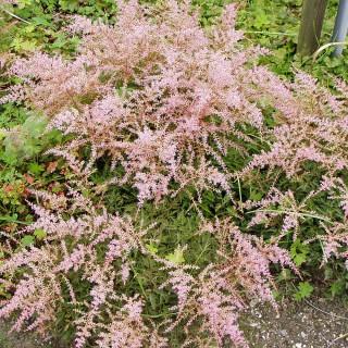 Astilbe, Prachspiere Sprite, Unterbepflanzung