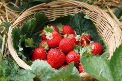 Erdbeeren pflanzen und pflegen