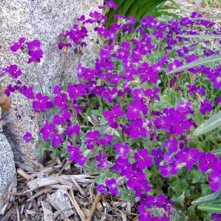 Blaukissen Blaumeise, Teppichpflanze, Frühjahr