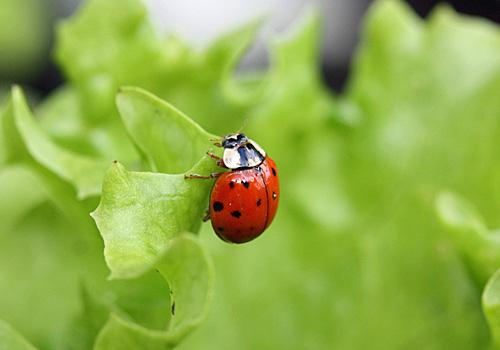 Marienkäfer Wichtiger Nützling im Garten