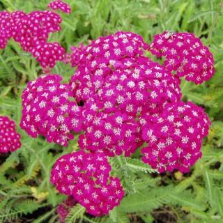 Schafgarbe, Farbklecks, Blütenstaude