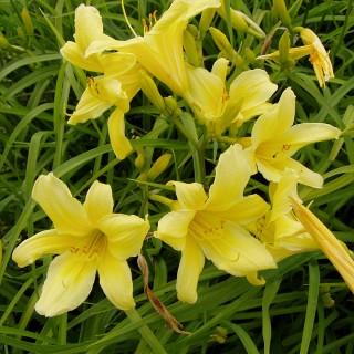 Taglilie Bel, Hemerocallis, Blütenstaude