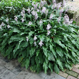 Funkie Pineapple Poll, Hosta, Blattschmuckstaude
