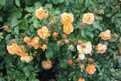 Pflanz- & Pflegeanleitung Rosen