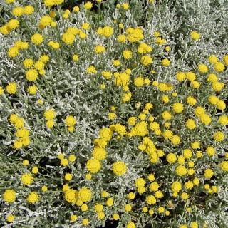 Heiligenkraut, Santolina, Blattschmuckpflanze