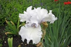 Gärtnertipp Bart-Iris
