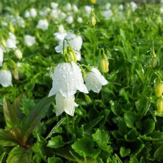 Zwerg Glockenblume White Baby, Sommerblüher