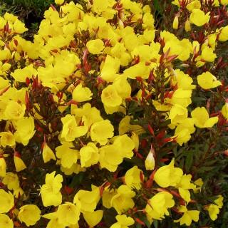Nachtkerze Yella Fella, Blütenstaude, Heilpflanze