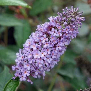 Sommerflieder Lochinch, Buddleja, Bienenweide, Schmetterlingsmagnet
