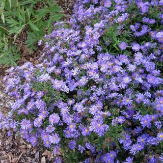 Kissenaster, Aster Blaue Lagune, Herbstpflanze, Blütenmeer