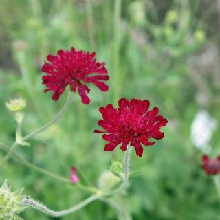 Witwenblume, Knautia, Blütenpflanze