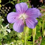 Storchschnabel Johnsons Blue, Geranium, Bodendecker