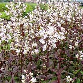 Bartfaden Huskers Red, Penstemon, Blattschmuck, Blütenstaude