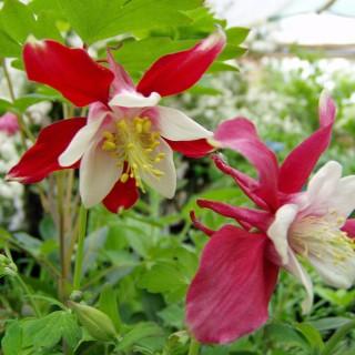 Akelei, Frühling, Liebhaberpflanze