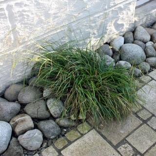 Hängesegge, Carex pendula, Ziergras