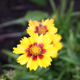 Mädchenauge Sterntaler, Corepsis, Blütenstaude