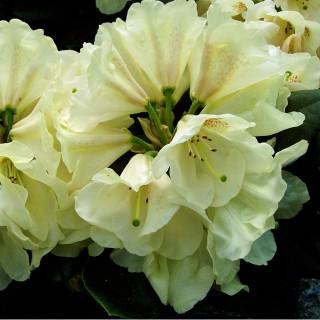 Rhododedron Goldbukett, Azalee, immergrün, Blütenstrauch