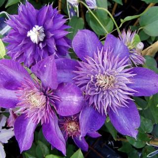 Clematis Multi Blue, Kletterpflanze, Waldrebe, Blütenpflanze