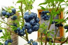 Heidelbeeren pflanzen und pflegen