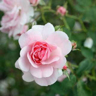 Beetrose Bonica 82, Rosa, Rose, Beetpflanze