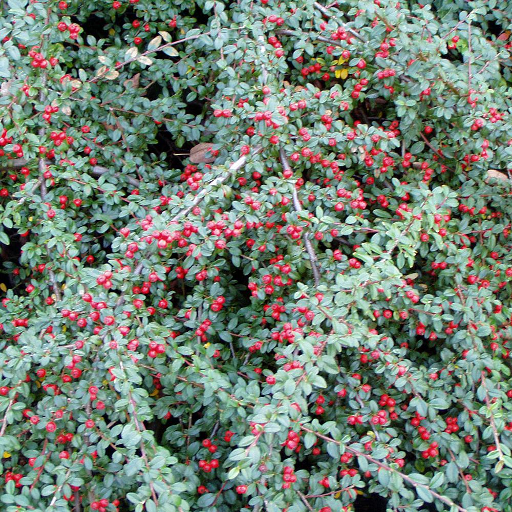 die kriechmispel cotoneaster dammeri 39 coral beauty 39 auch teppichmispel genannt ist ein sehr. Black Bedroom Furniture Sets. Home Design Ideas