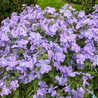 Wald Phlox 'Clouds of Perfume'