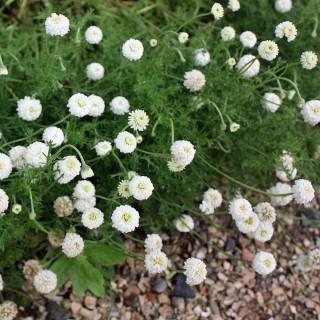 Römische Kamile, Blütenpflanze