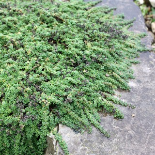 Teppichthymian Minor, Bodendecker, Steingarten