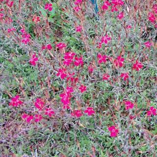 Heidenelke, Dianthus, Bodendecker