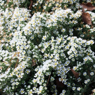 Aster Snow Flurry, Herbstblüher, Blütenmeer
