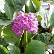 Bergenie Eroica, Blattschmuckstaude, Frühjahr
