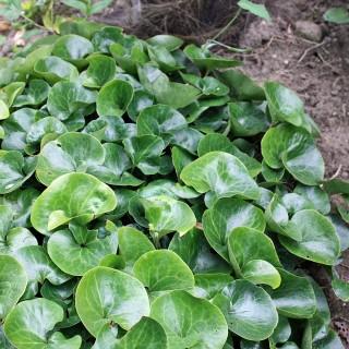 Haselwurz, Unterbepflanzung, Schattenpflanze