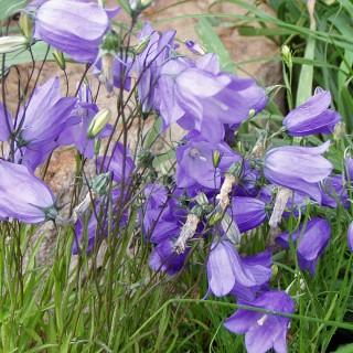 Wiesenglockenblume Olympica, Glockenblume, Blütenmeer