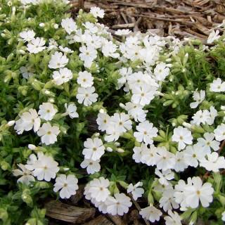 Teppichphlox Maischnee, Frühjahrsblüher, Steingarten