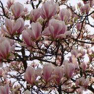 Tulpenmagnolie als Hochstamm