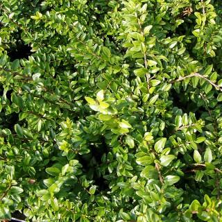 Pflanz- & Pflegeanleitung für Bodendecker   Native Plants