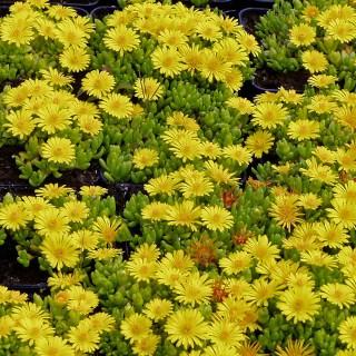 Mittagblume, Mittagsblümchen, Delosperma