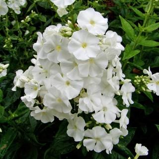 Phlox David, Flammenblume, Blütenstaude, Beetpflanze