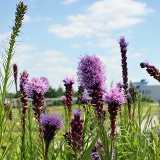 Prachtscharte Floristan Violett, Liatris, Blütenstaude