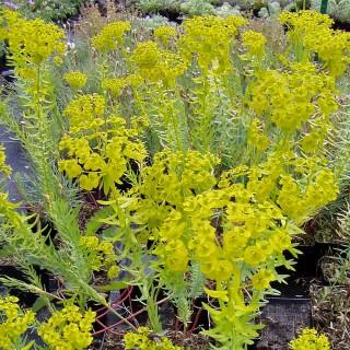 Steppenwolfsmilch, Wolfsmilch, Steingartenpflanze