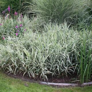 Rohrglanzgras, Ziergras mit weißgestreiften Blätter