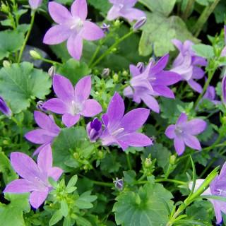 Teppichglockenblume Brich, Glockenblume, Bodendecker, Blütenstaude